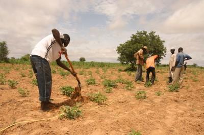 plantation d'abres au Niger