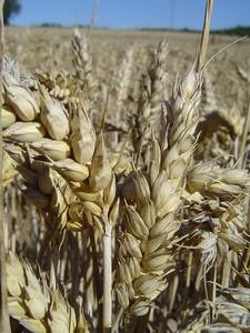 Agriculture Biologique, champs de blé