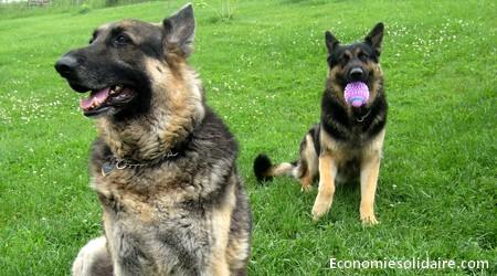 chiens-animaux-domestique
