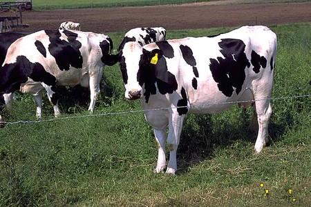 vache a lait