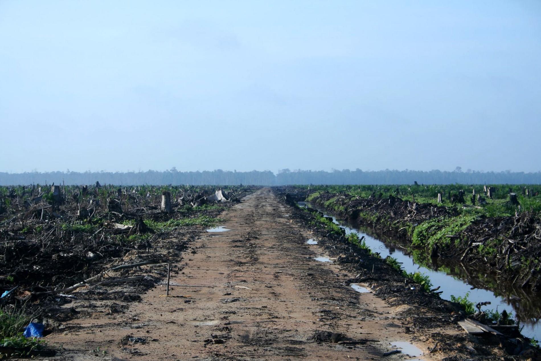 Déforestation au profit de palmiers à huile