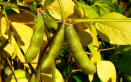 Graines de Soja dans le Fruit