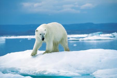 Ours de l'Arctique