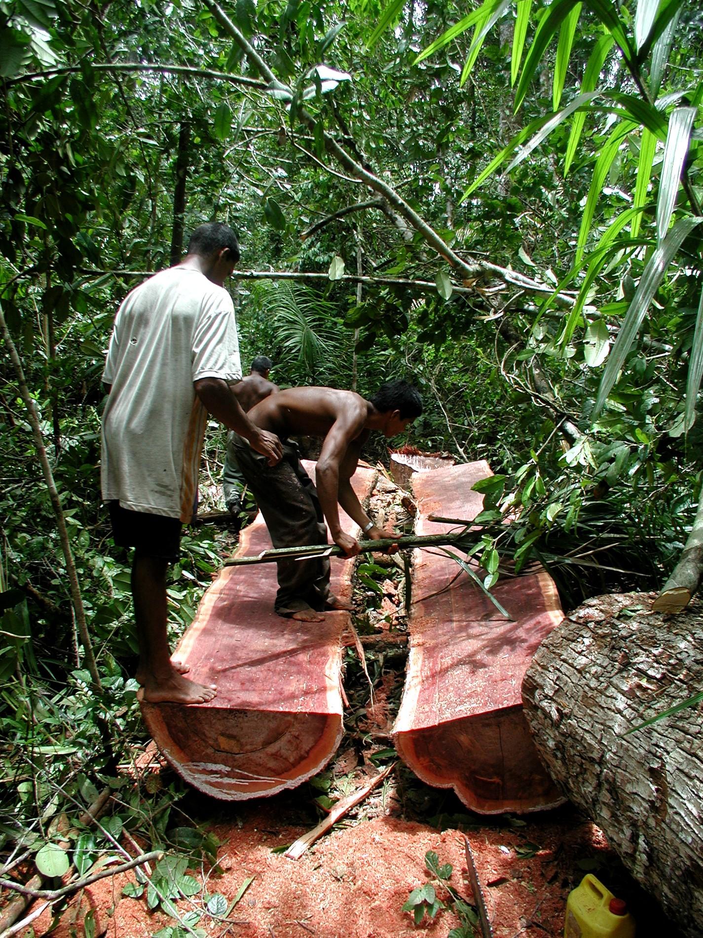 Coupe Rase au Guyana